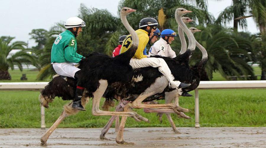 Safari Ostrich Showfarm