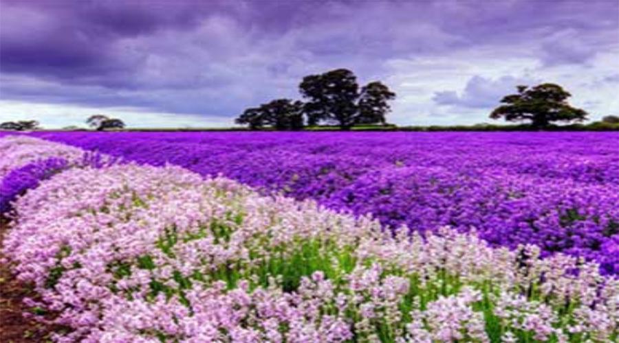 Saffron Field, Pahalgam