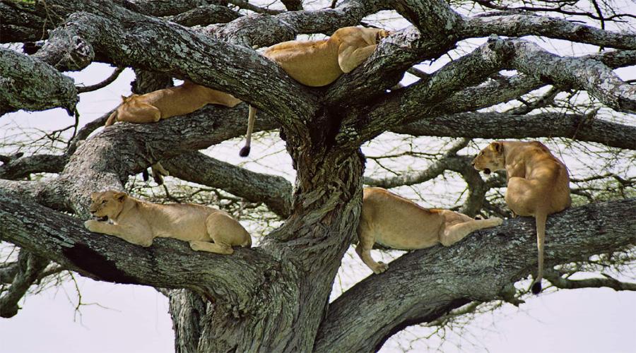 Lion Climbing Lake Manyara