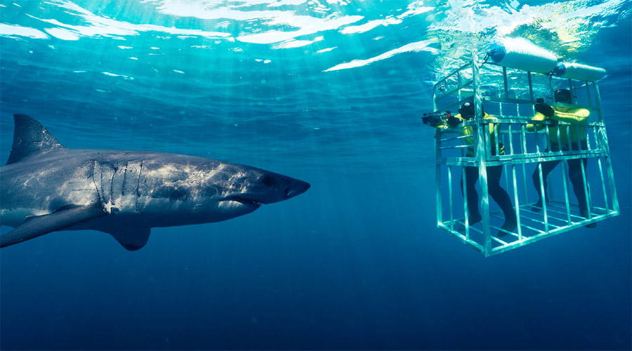 Shark Cage Diving Capetown