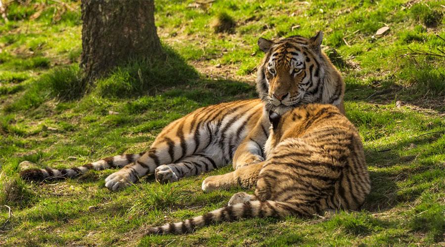Tiger Kingdom, Phuket