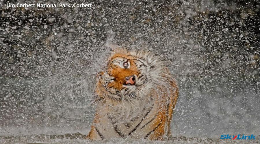 Corbett Tiger