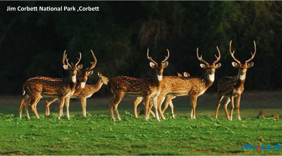 deer Corbett