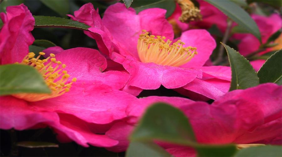 carmelia flower