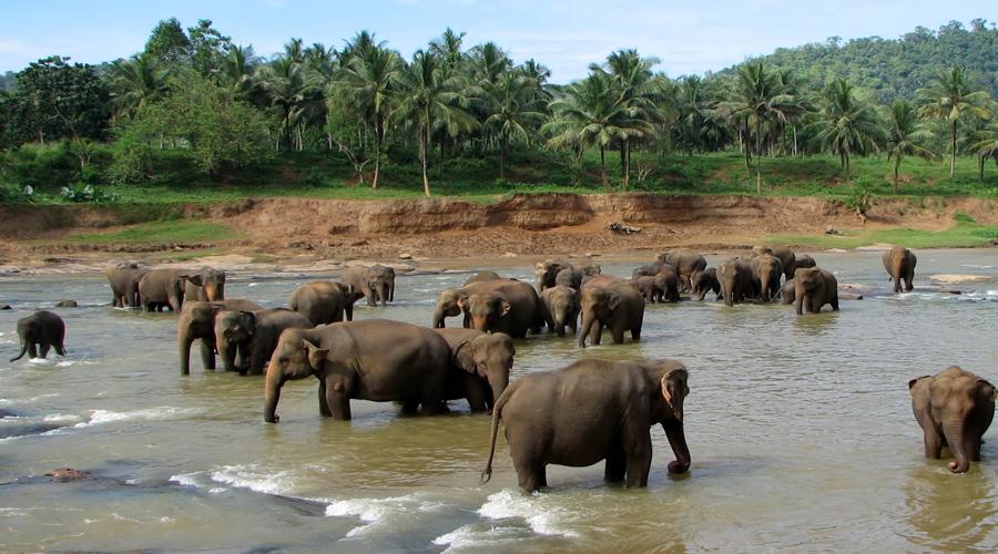 Pinnawala Elephant Orp