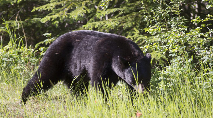 Black bear Banff to Jasper by road