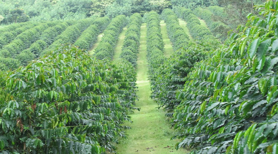 Coffee Plantation, Big Island