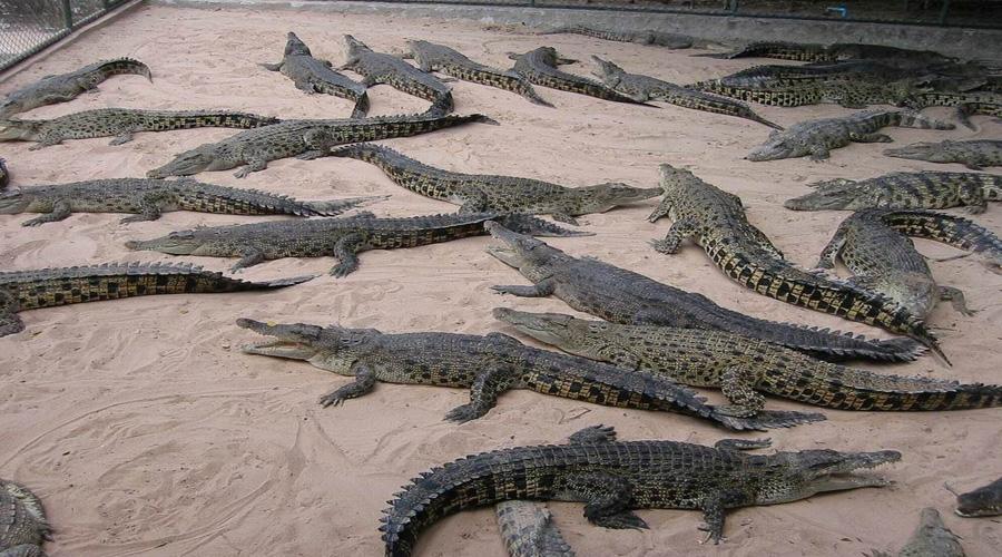 Crocoduile Farm, Bangkok