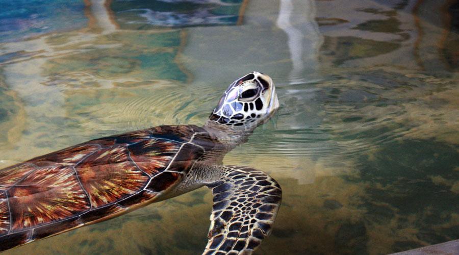 Hawkskill turtle