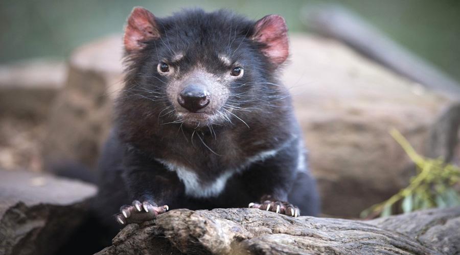 Hobart Wildlife