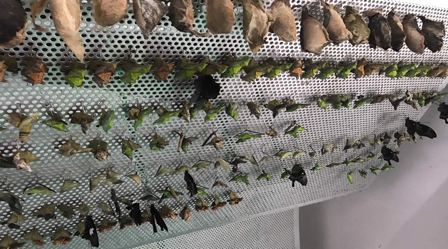 Insect Kingdom, SIN