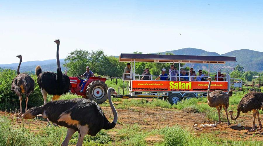 Ostrich Farm, Cape Town