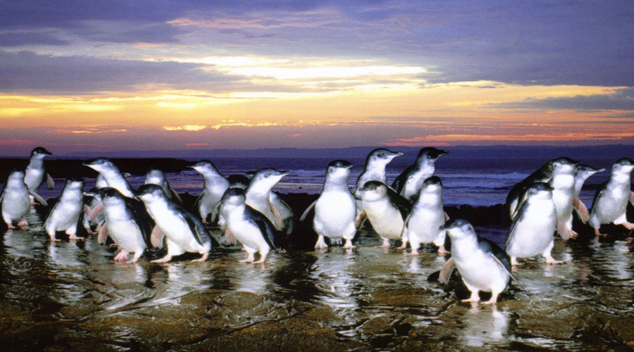 Phillip Island Penguins, Melbourne