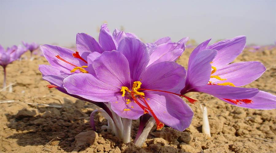 Saffron Field Pahalgam