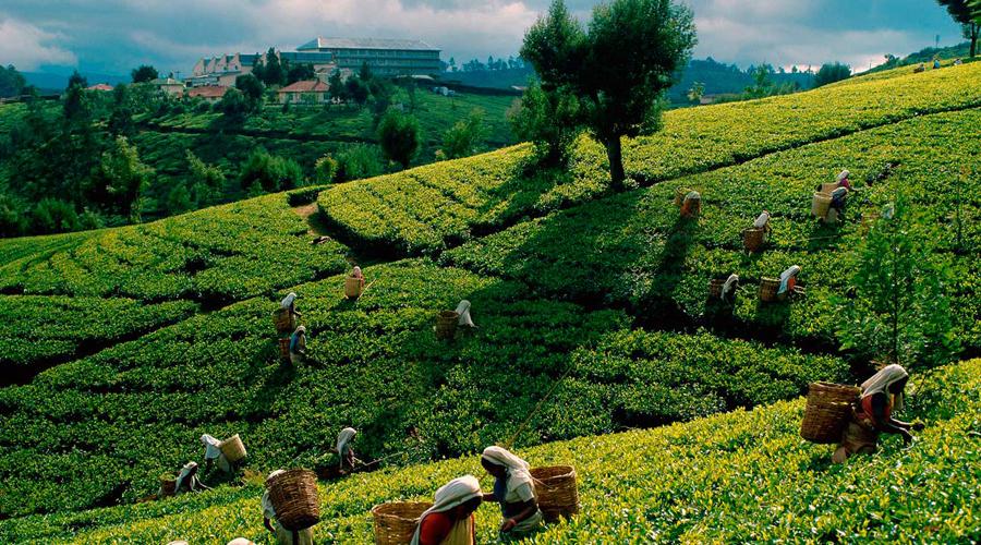 Tea Plantation, Nuwara Eliya