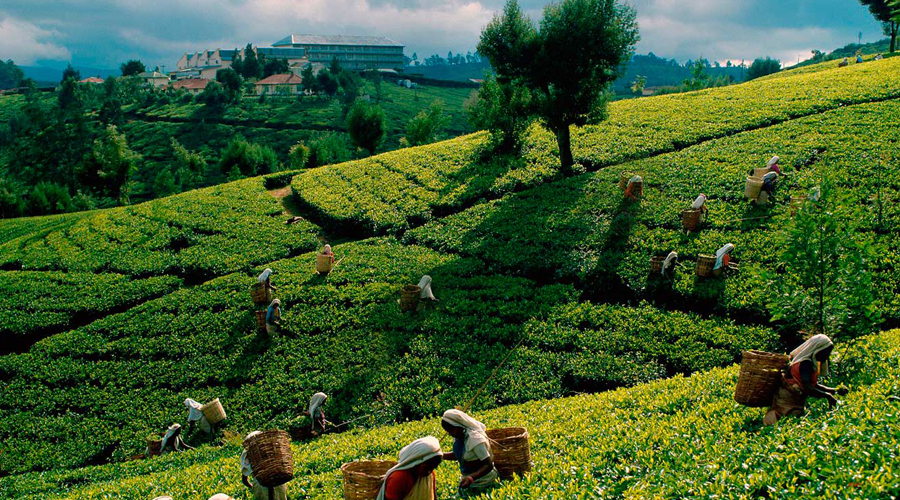 Tea Plantation, Nuwara Eliya
