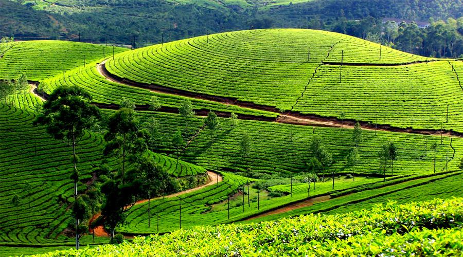 Tea Plantation Munnar 1