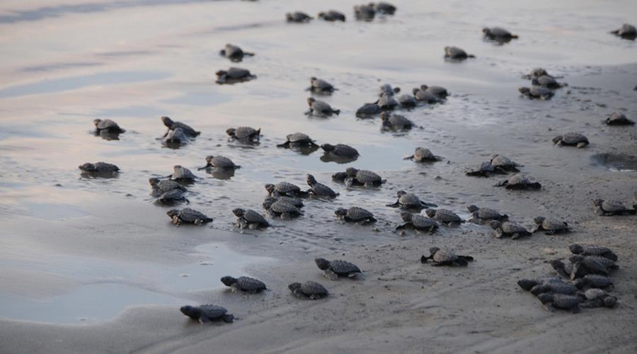 Turtle Hatchery, Betota