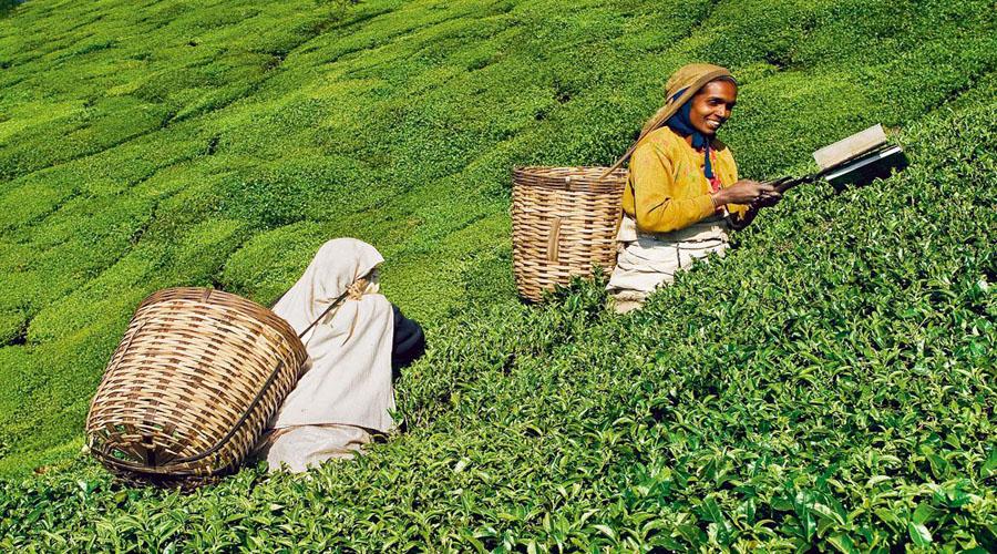 Tea Garden, Ooty