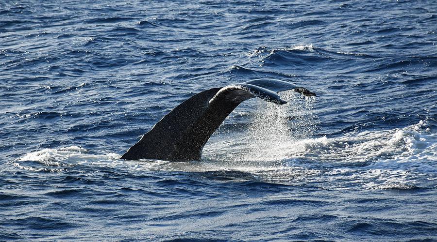 Whale Watching mirssa